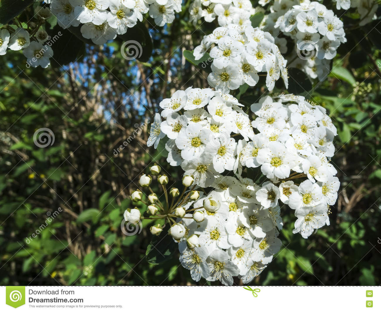 Blossoms Of Spiraea X Vanhouttei Stock Photo.