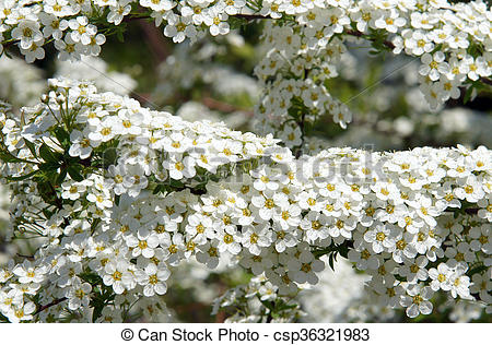 Pictures of Snowmound Spirea Flowers.