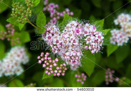 Spirea Flowering Shrub Stock Images, Royalty.