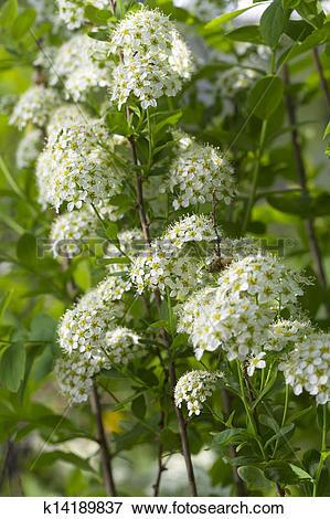 Picture of White spirea k14189837.
