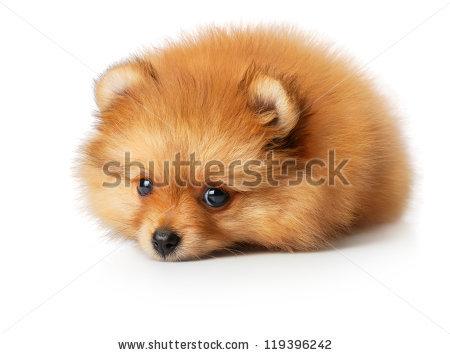 Cute Little Yellow Baby Spitz Sad Stock Photo 119396242.
