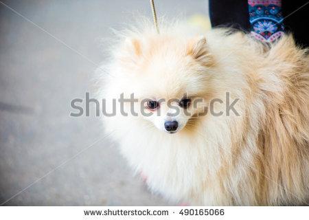 At Dog Greyhound Show Stock Photos, Royalty.