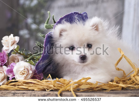 "spitz In The Hat"" Stock Photos, Royalty."