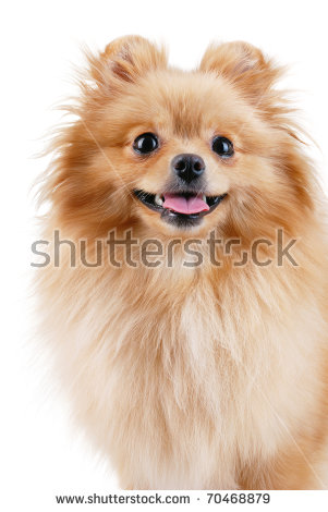 Cute Little Yellow Baby Spitz Sad Stock Photo 119396242.