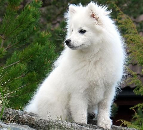 1000+ ideas about Spitz Dogs on Pinterest.
