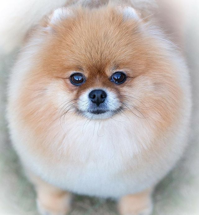 1000+ images about ♥ my poms on Pinterest.