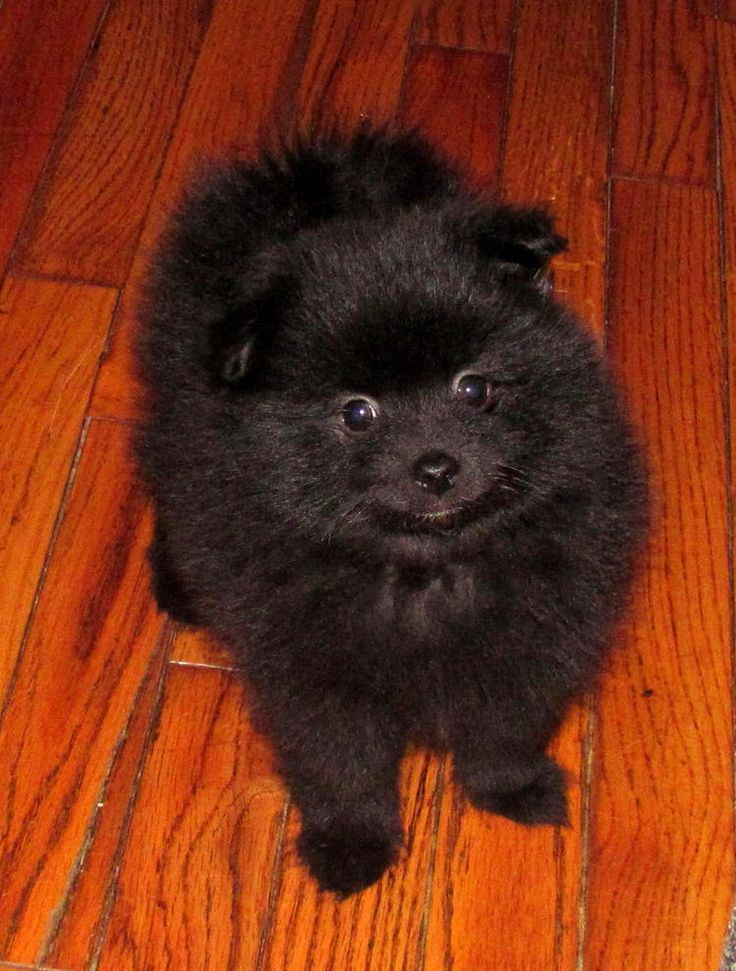 1000+ ideas about Pomeranian Schwarz on Pinterest.