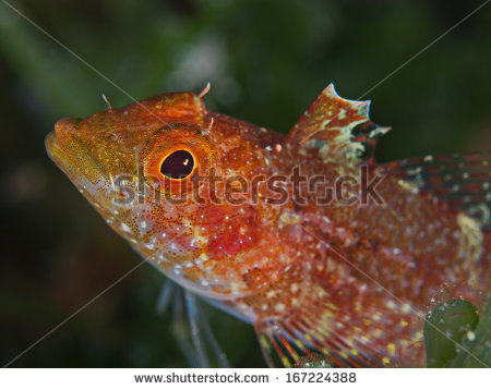 Blenny Isolated Stock Images, Royalty.