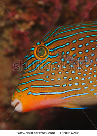 Puffer Fish Isolated Stock Photos, Royalty.