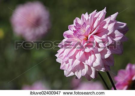 Picture of Dahlia cultivar Ingrids Traum (Dahlia Ingrids Traum.