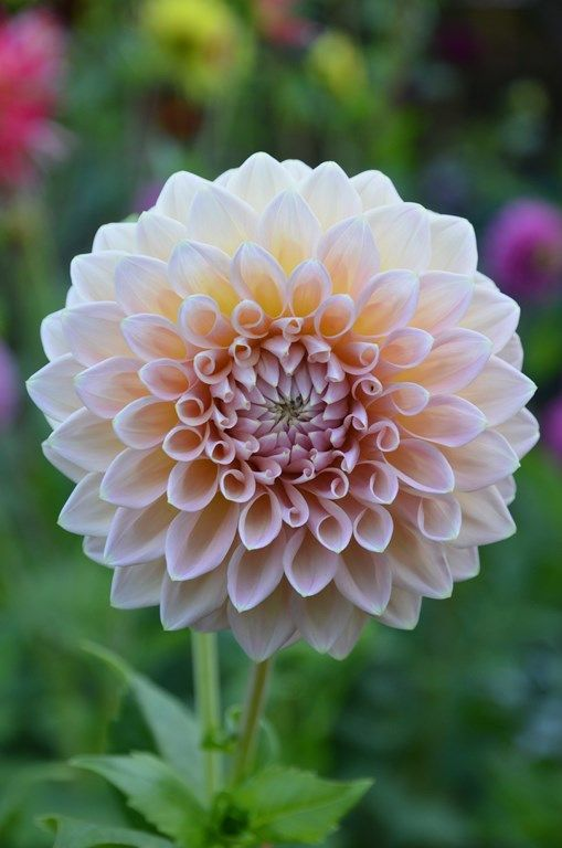 1000+ images about Dahlia on Pinterest.