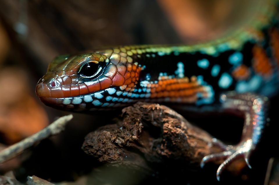 Free photo: Splendor Skink, Reptile, Terrarium.
