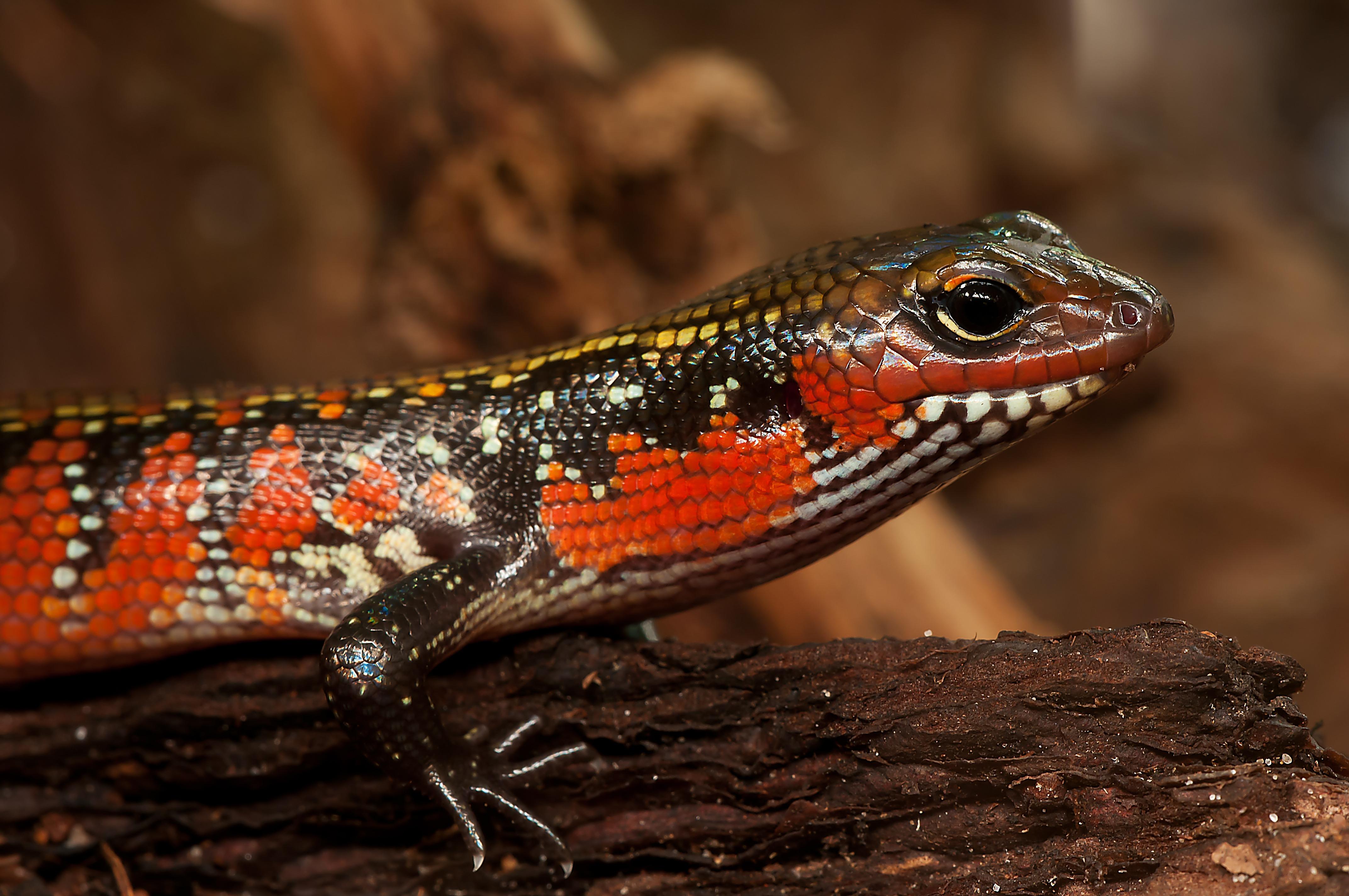 Splendor Skink, Lizard.