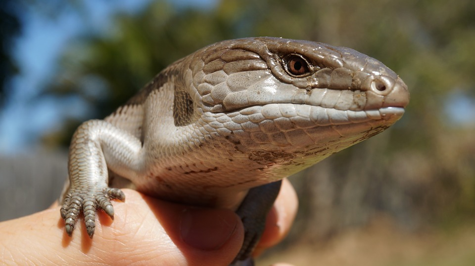 Free photo Reptile Lizard Skink Animal Blue Tongue Exotic.