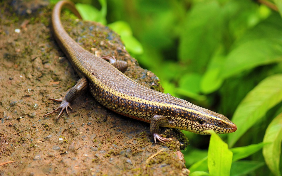 Free photo Blue Tongue India Skink Avinash Saap Surli Lizard.
