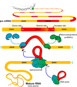 Mrna Splicing Clip Art at Clker.com.