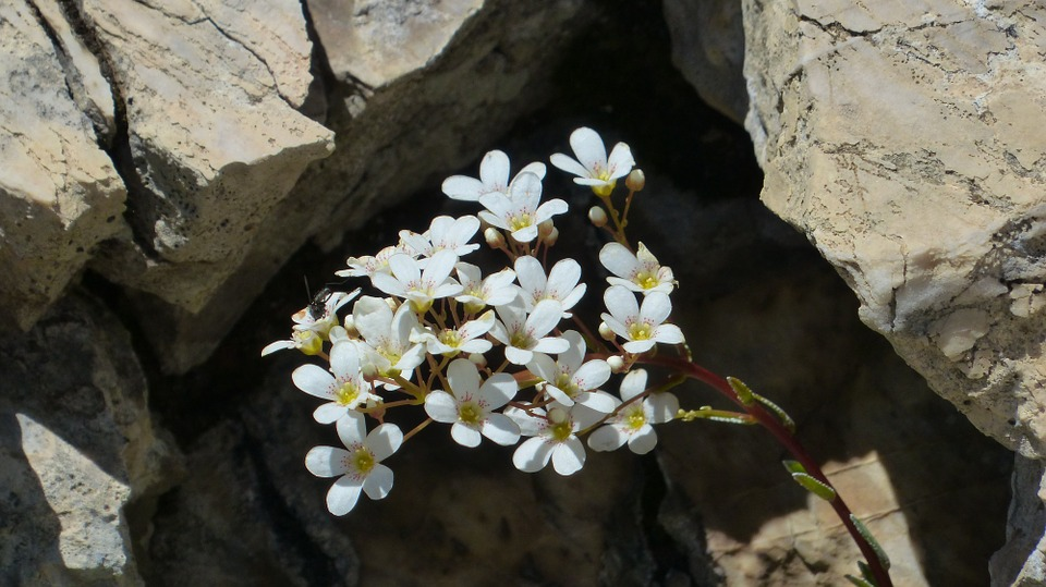 Free photo: Spoon Leaf Saxifrage, Flower.
