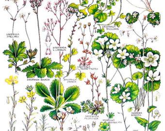 Purple saxifrage.