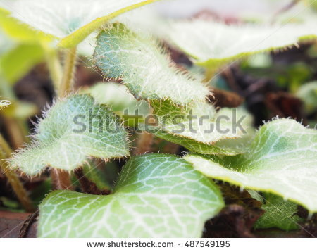Saxifraga Stock Photos, Royalty.