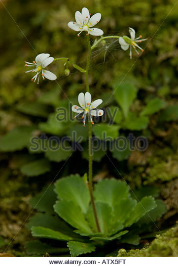 Saxifrage Stock Photos & Saxifrage Stock Images.