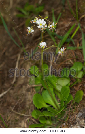 Saxifraga Stock Photos & Saxifraga Stock Images.