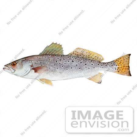 Clipart Image Illustration of a Spotted Seatrout Fish (Cynoscion.