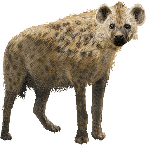 Spotted Hyena, Laughing Hyena, Cape Wolf clipart graphics (Free.