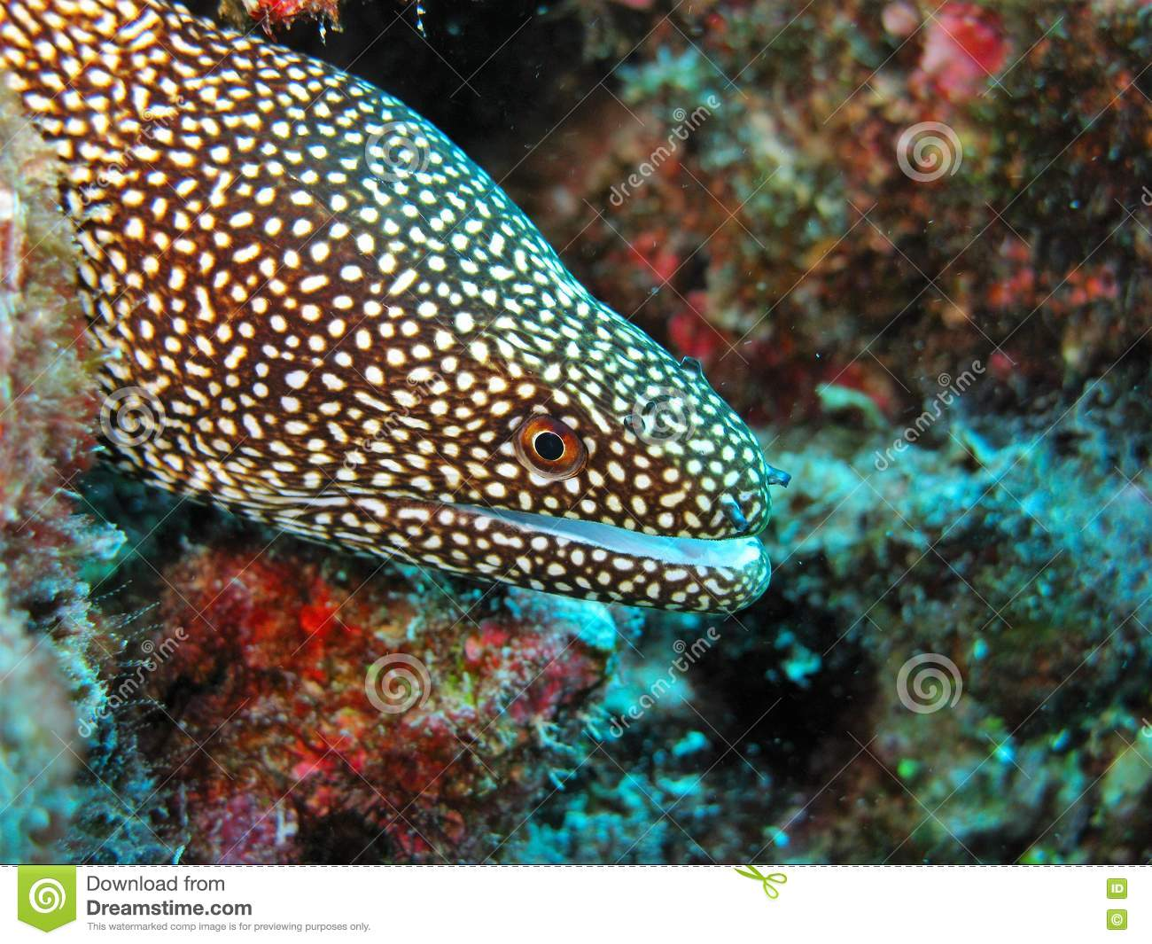 Coral Reef Spotted Moray Eel Stock Photo.