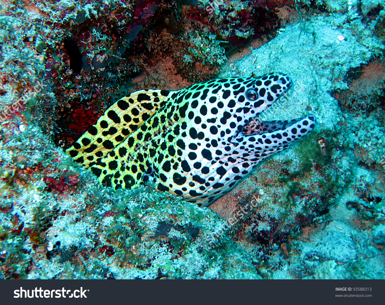 Blackspotted Moray Eel Mnemba Zanzibar Tanzania Stock Photo.