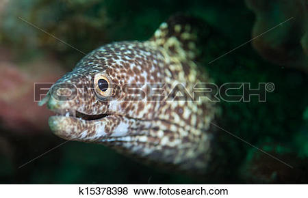 Pictures of close up of a spotted moray eel k15378398.
