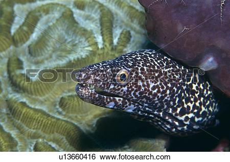 Stock Images of Spotted Moray Eel. (Gymnothorax sp) Tobago.