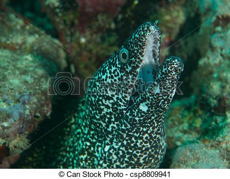 Stock Photography of Spotted Moray Eel comes out of its hole on.