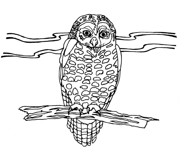 Drawn Owl spotted owl 9.