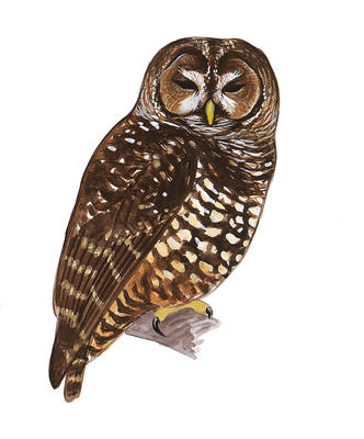 Spotted Owl Cliparts.