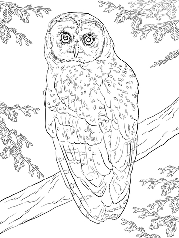 Northern Spotted Owl coloring page.