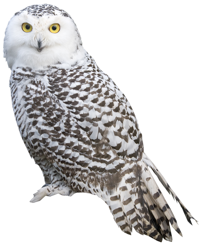 White Owl PNG Clipart.