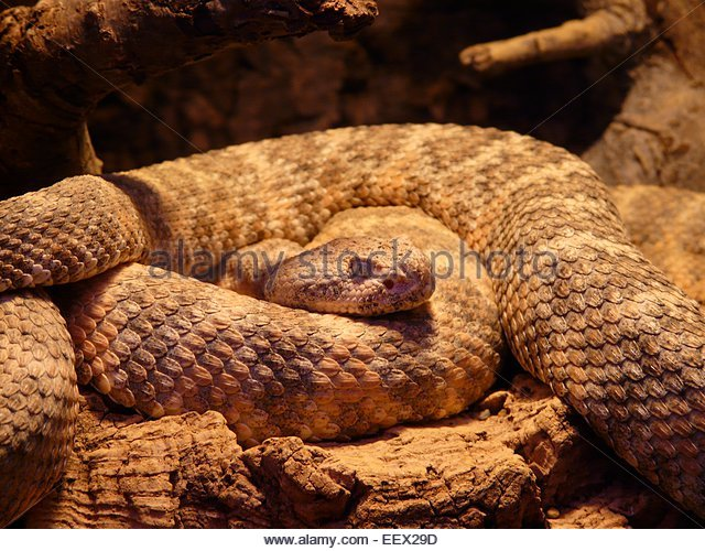 Rattle Snake Stock Photos & Rattle Snake Stock Images.