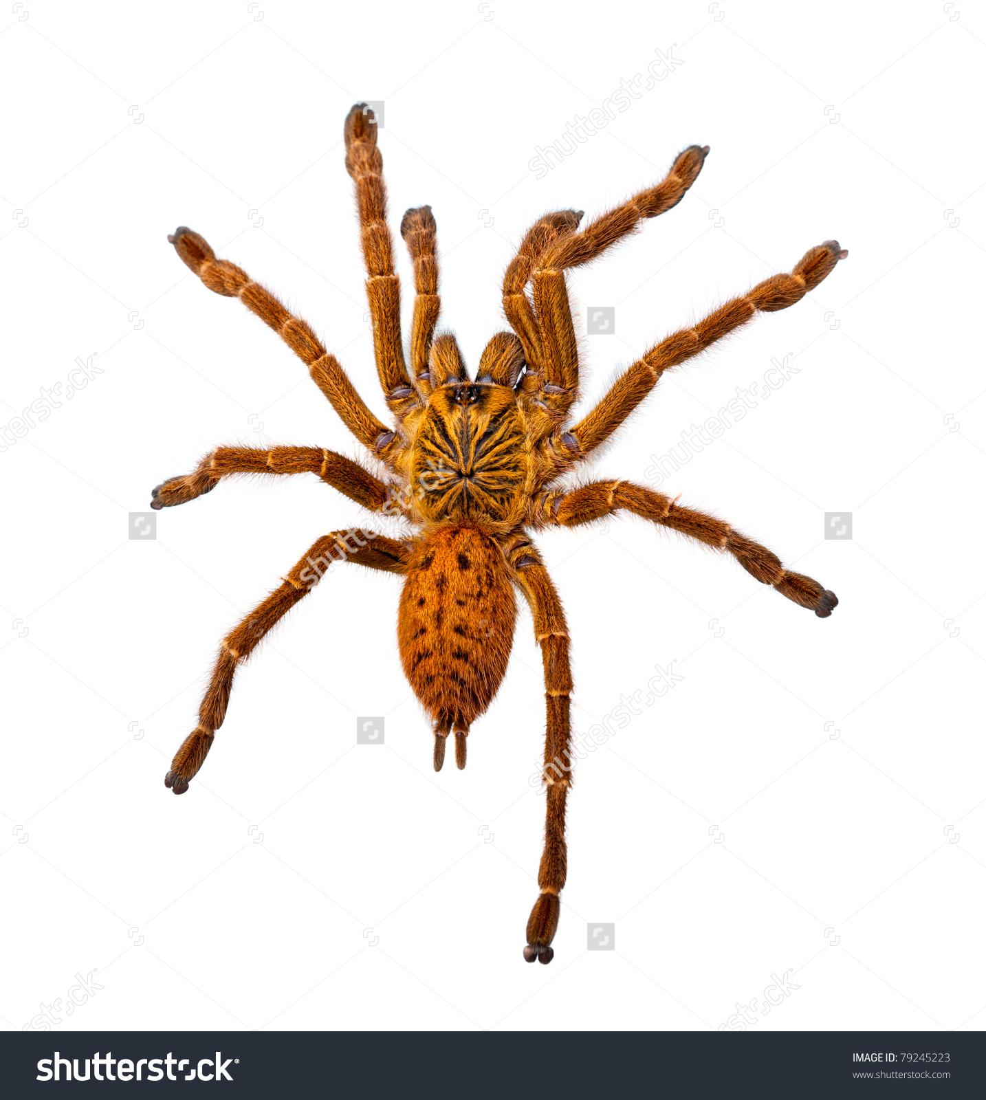 Huge Hairy Orange Spider Isolated On White Stock Photo 79245223.
