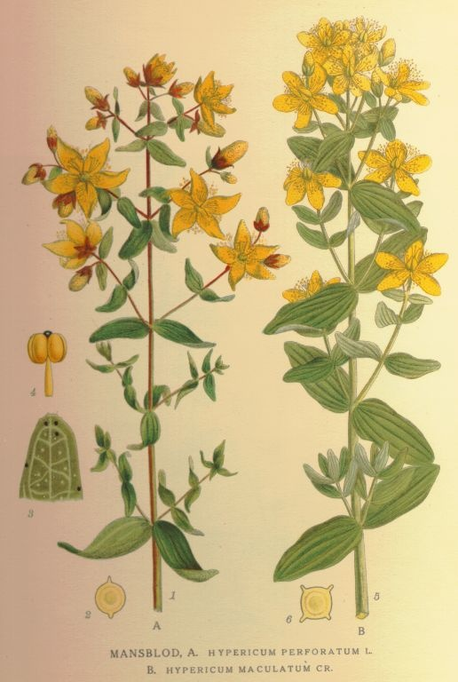 1000+ images about St.John's Wort.
