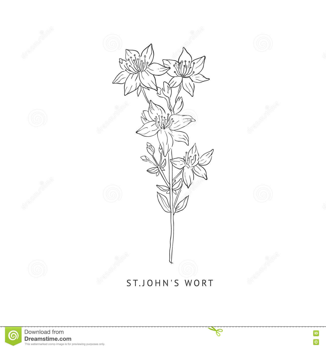 St. Johns Wort Hand Drawn Realistic Sketch Stock Vector.