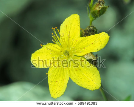 Maculatum Stock Images, Royalty.
