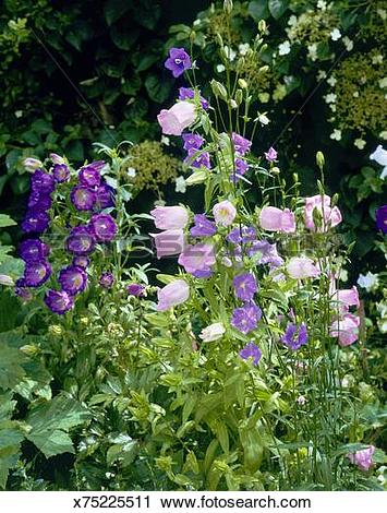 Stock Photography of Campanula medium and Campanula latiloba.