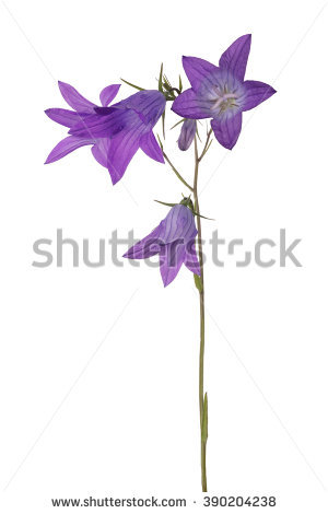 Vector Bluebell Stock Vector 56063869.