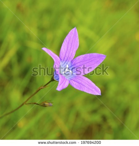 "campanula Patula"" Stock Photos, Royalty."