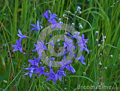 Spreading Bellflower (Campanula Patula) Royalty Free Stock Photo.