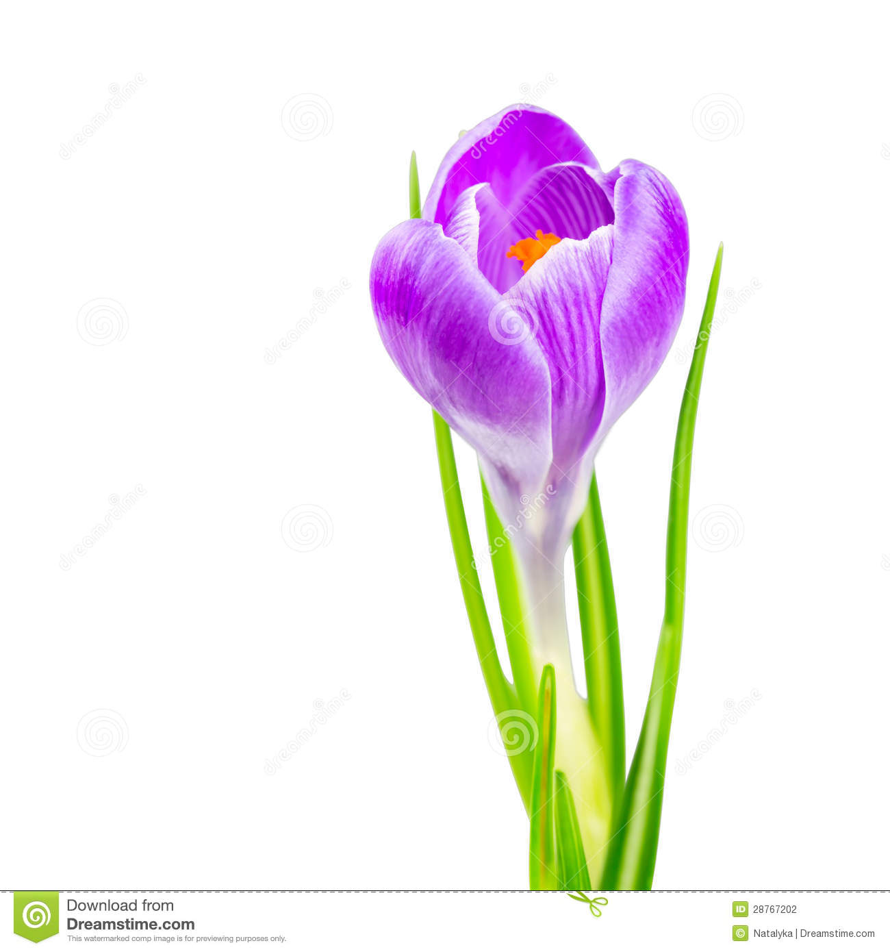 Blooming Spring Crocus Flower Stock Photography.