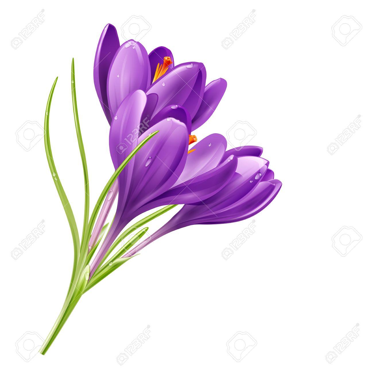 Crocus flower clipart.