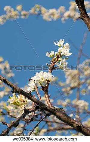 Stock Photo of A blossoming plum tree on a bright Spring day.