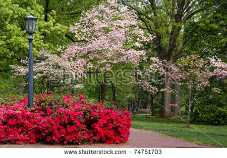 Dogwood Tree Stock Images, Royalty.
