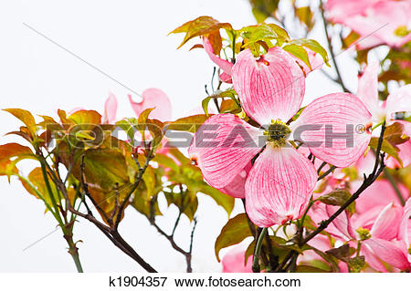 Picture of Flowering Japanese dogwood in spring k1904357.